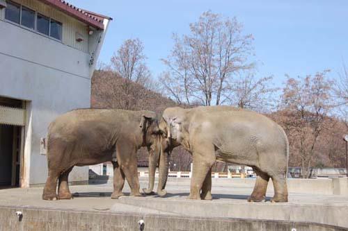 茶臼山動物園のゾウ