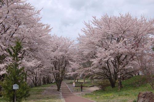 茅野市運動公園の桜